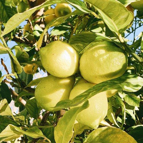 レモンスペインアロマ精油(天然エッセンシャルオイル)