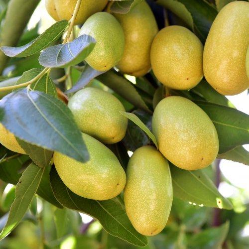 未精製ホホバ植物油(天然キャリアオイル)