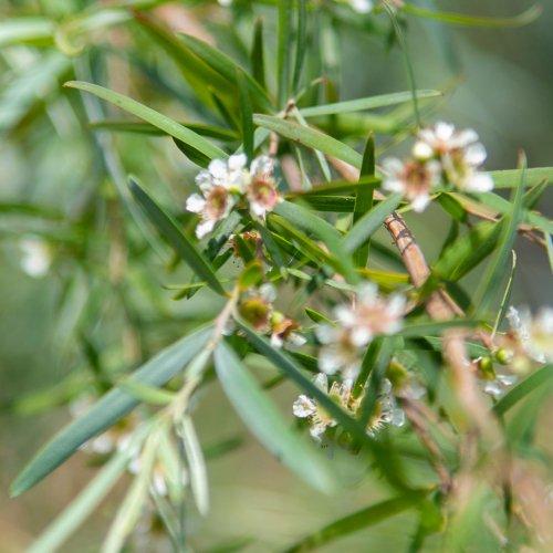 ティーツリーレモンアロマ精油(天然エッセンシャルオイル)